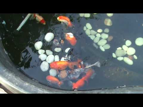 My fancy goldfish pond youtube for Goldfish pond plants