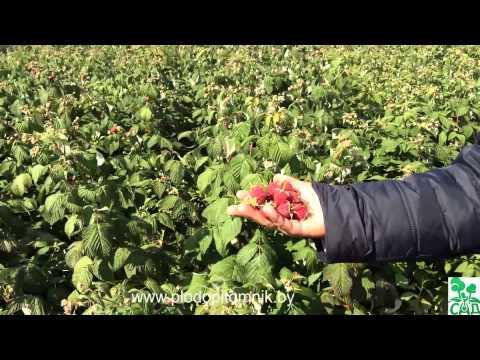 Малиновое дерево фото и описание штамбовой малины, сорта