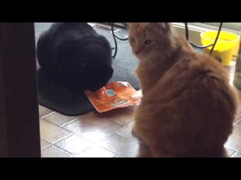 Cat vs Temptation look like a drug !!!!