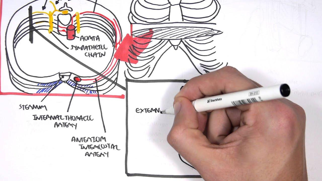 Anatomy Thorax Clinical (+ Nerve Block) - YouTube