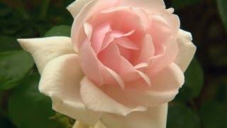 Rose Care Tips  | P. Allen Smith Classics