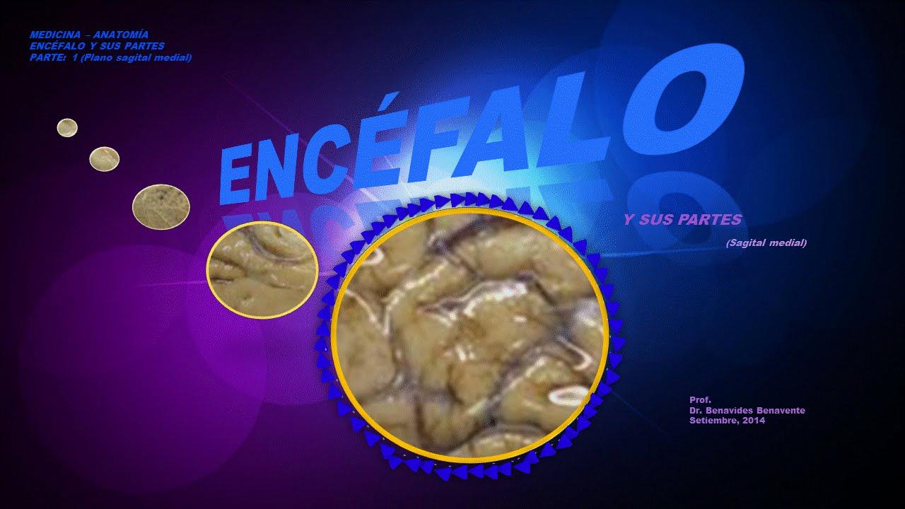 Encéfalo Plano Sagital Medial - YouTube