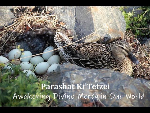 Parashat Ki Tetzei: Awakening Divine Mercy in Our World