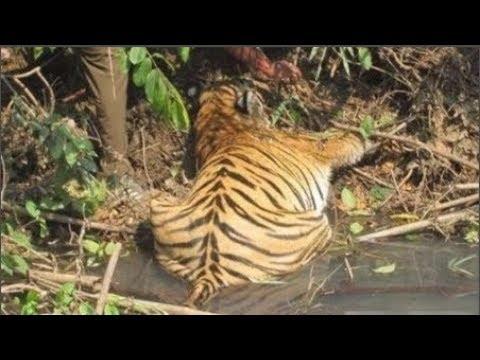 Thấy con hổ nằm úp bất động bên bờ sông, người đàn ông tò mò tiến lại chạm vào rồi hối hận ngay