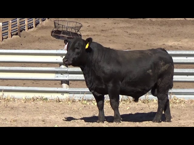 Connealy Angus Lot 154