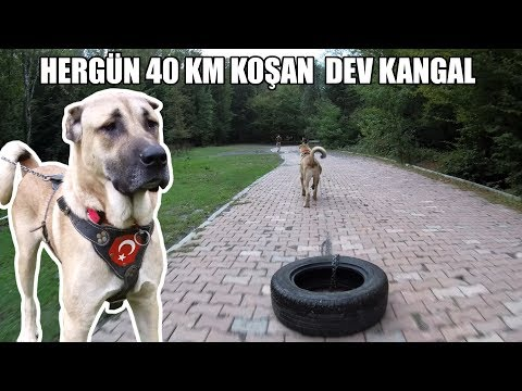 HERGÜN 40 KM KOŞAN DEV KANGAL ( Kangal Köpeğinin Kamyon Tekerleği ile Efsane sporu ) Strongest dog