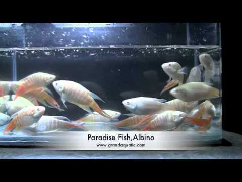 Paradise Tropical Fish | Paradise Fish Albino Aquarium Tropical Fish Youtube
