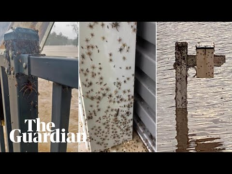 'Look at them all!' Spiders escape to higher ground during NSW floods