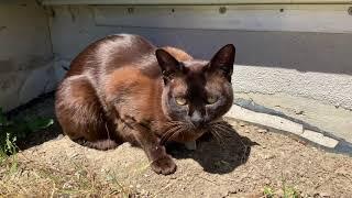 Burmese cat outside enjoying the sun.