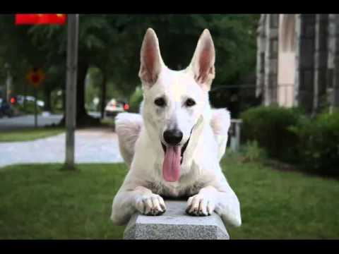 White German Shepherd Puppies Collection Of Pictures