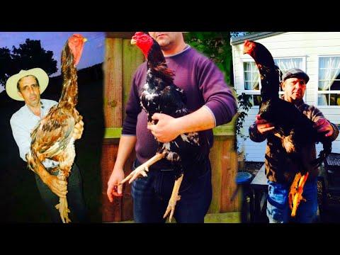 Shamo Aseel Rooster Big Hieght By Bill Ripley