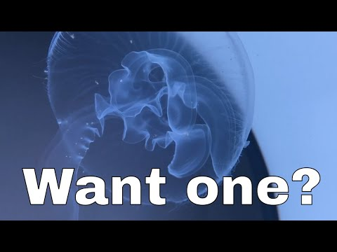 Do You Really Want A Pet Jellyfish?