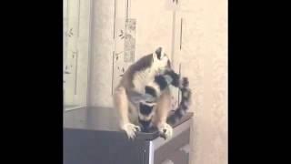 Лемур разговаривает с кошкой. Смешное видео. Кольцехвостый лемур катта.