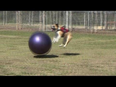 Dog vs. Huge Ball