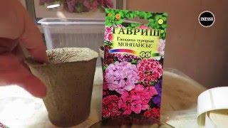 Турецкая гвоздика (сеем семена на рассаду). Dianthus.