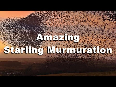 Murmuration of Starlings in Cornwall in HD - WOW Starling Birds Flocking Together