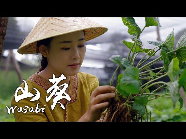 「四季调料」山葵——唤醒食物最初的美味 【滇西小哥】