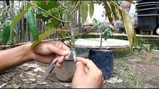Video Cara Okulasi Pohon Durian Yang Paling Mudah download MP3, 3GP, MP4, WEBM, AVI, FLV September 2018
