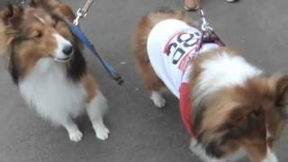 Sheltie sing (howl) with siren sound of ambulance.Dale sings well. ...