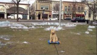 Teddy, A Goldendoodle Benefits From Board And Train Dog Training