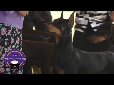 Best of Breed Minute: Doberman