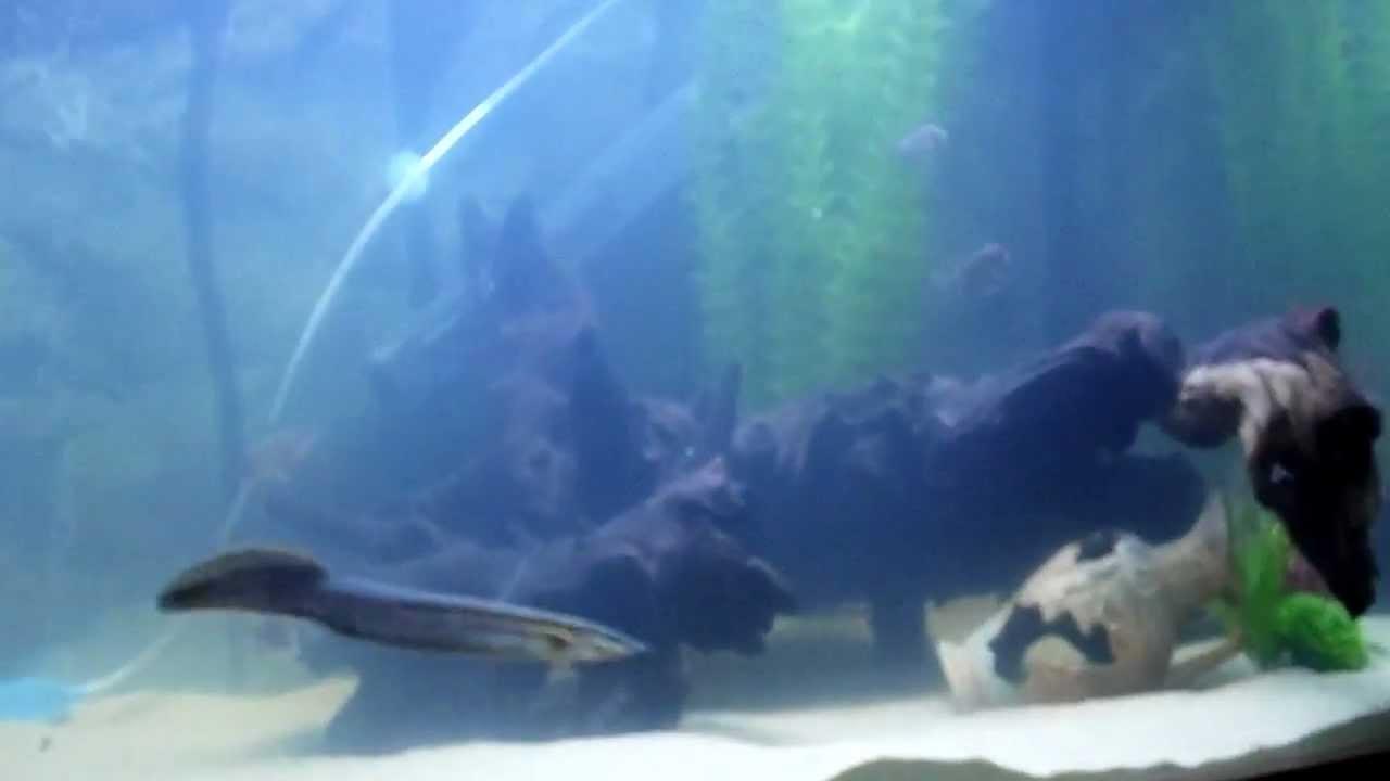 Freshwater aquarium fish oddballs - Aquarium Cichlid Giant Gourami And Oddballs