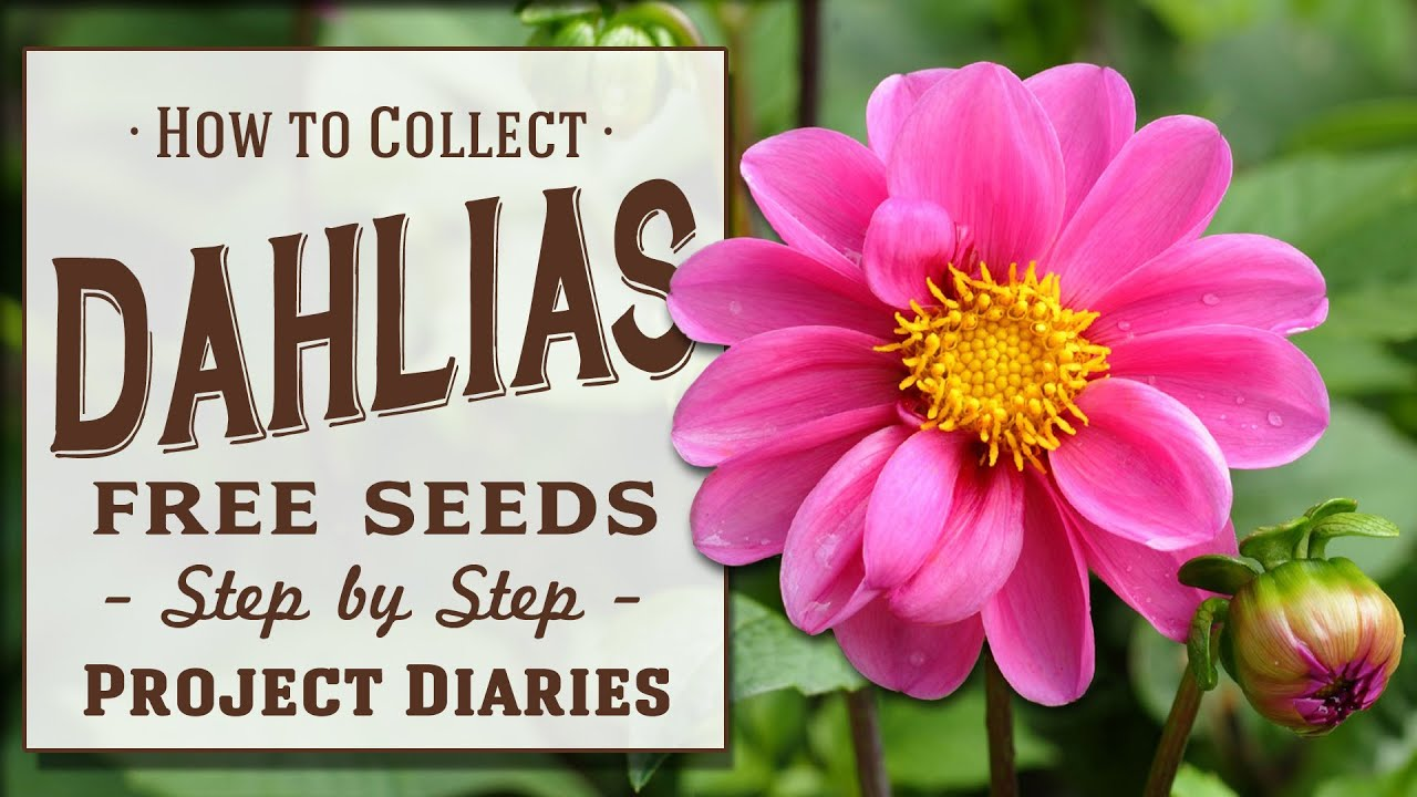 How To Collect Dahlia Seeds 2 Tips Works For All Flowers