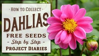★ How to: Collect Dahlia Seeds (2 Tips, Works for ALL Flowers)