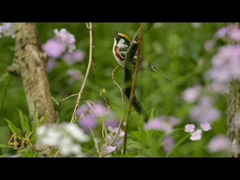Spring part 5/6 - One hour 4K video of the nature and wildlife of Eastern Canada
