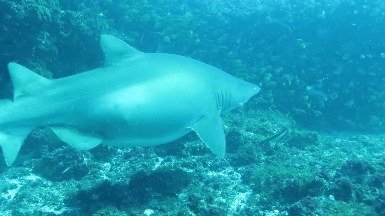 Pregnant Sharks 96