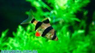 Барбус суматранский - рыбка в аквариум купить