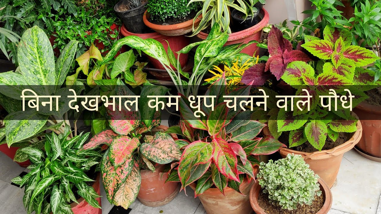 Best top plants for less sunlight balcony garden's with names, Common house plants, indoor plants