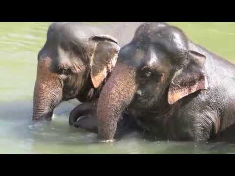 Asian Elephants Playing in the River