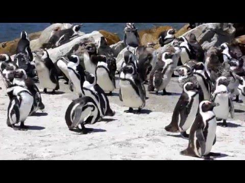 Saving endangered African penguins with SANCCOB