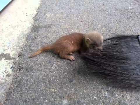 ほうきの毛で遊ぶイタチ