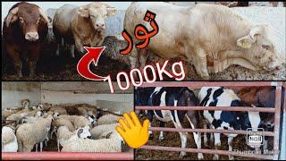 اش هاد الخير..فيرما زريقة الخروف...البقر..الماعز...مديونة📞0656165564/0674519133
