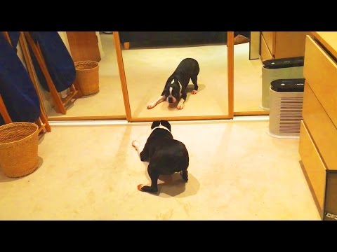 DOGS VS MIRRORS 🐶 🖼  Dogs REACTION in Front of MIRROR [Funny Pets]