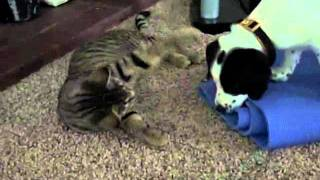 Pointer Beagle Mix Puppy