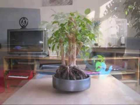 morph movie from pre bonsai to a simple bonsai ficus benjamina youtube. Black Bedroom Furniture Sets. Home Design Ideas