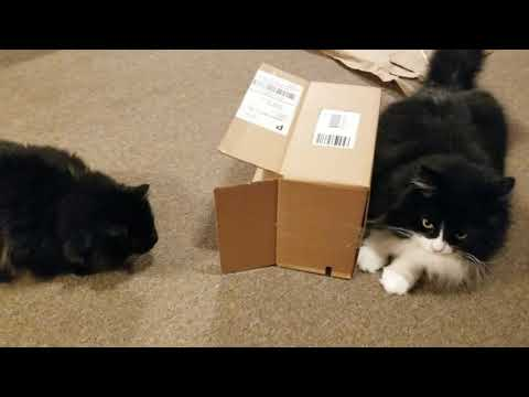 Domestic Longhair Cat & Norwegian Forest Cat wrestle over a Cardboard Box