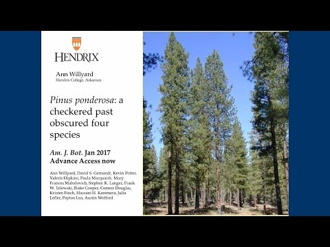 Pinus ponderosa: A checkered past obscured four species.