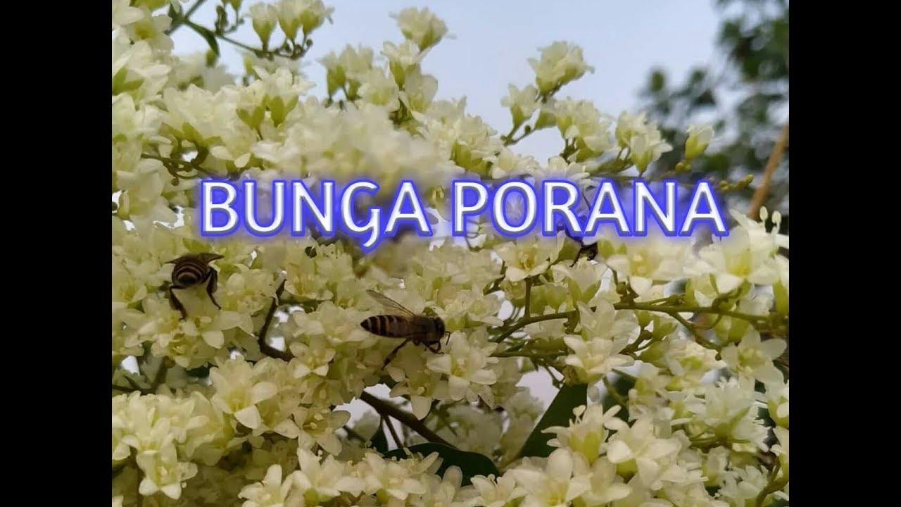 Pokok Bunga Porana Kesukaan Lebah Kelulut Trigona Youtube