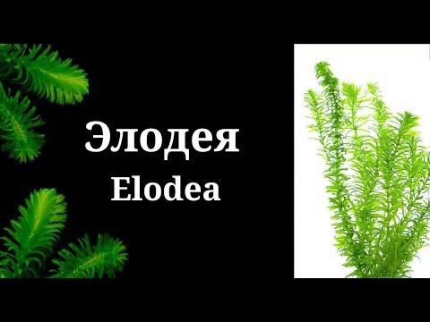 Элодея.Elodea