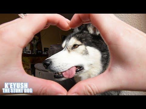 Stubborn Husky Does The Snoot Challenge?