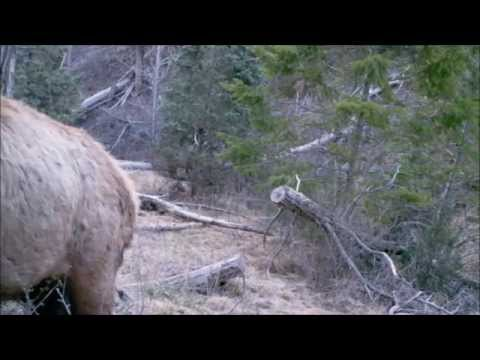 75 Days Sasquatch Canyon on Gamecam