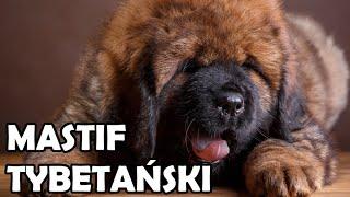 Mastif Tybetański - Historia, charakter, aktywność i choroby - Rasy Psów #7