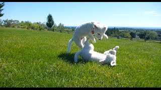 Bishons Frise Dogs in a Rough and Fast Game of Chase
