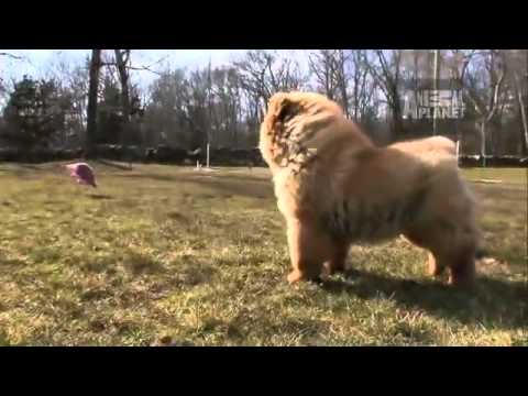dogs 101 chow chow youtube