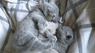 Together is always better. Cattery Calmcat British Shorthair