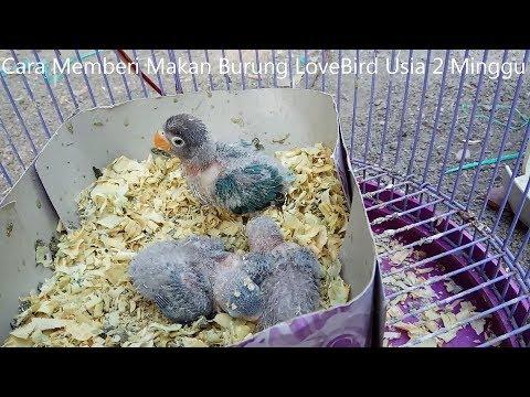 Cara Memberi Makan Burung Lovebird Usia 2 Minggu Youtube